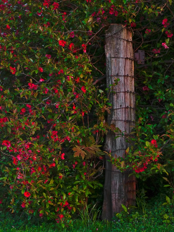 Old Post in Flowering Quince