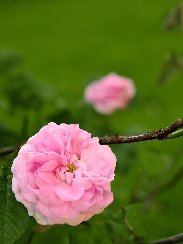 Soft, Pink Summer Rose