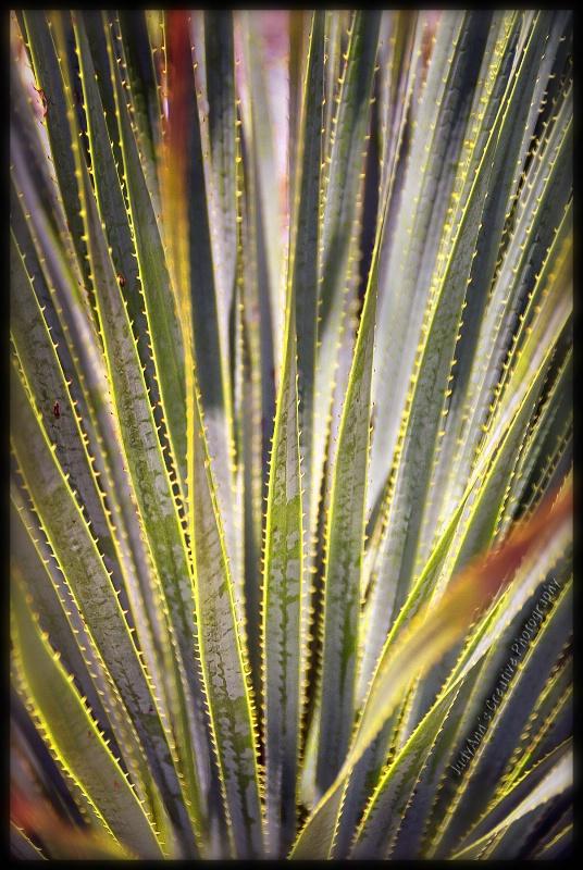 Guadalupe Yucca