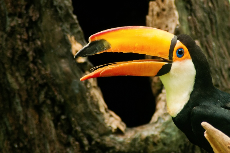 Bronx Toucan