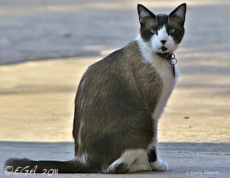 "Houston the"" Snowshoe Cat"""