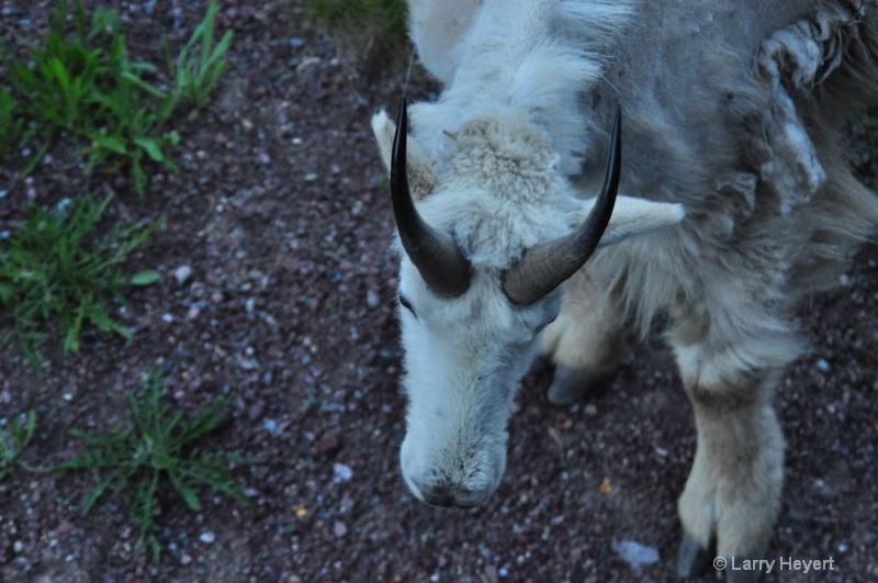 Glacier National Park- Mountain Goats