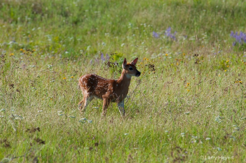 Fawn at the National Bison Range in Montana
