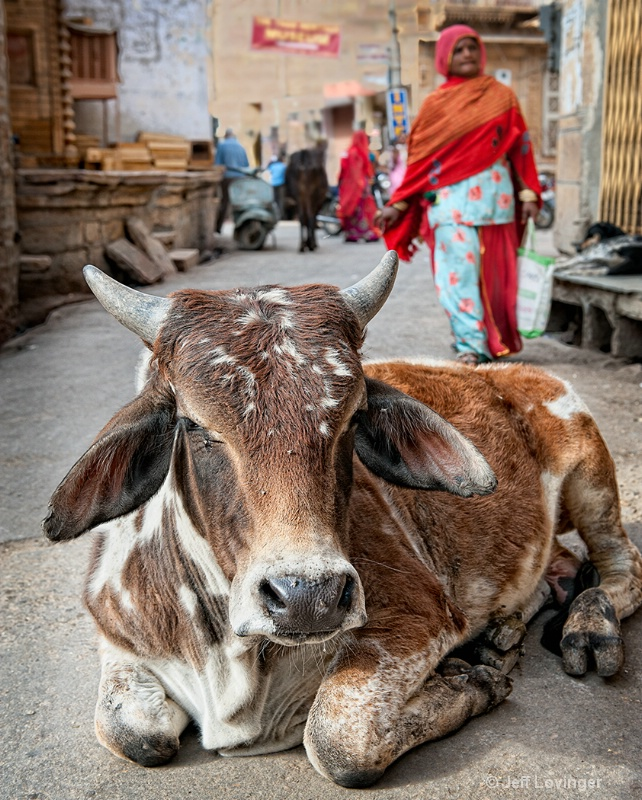 Holy Cow, Rajasthan, India