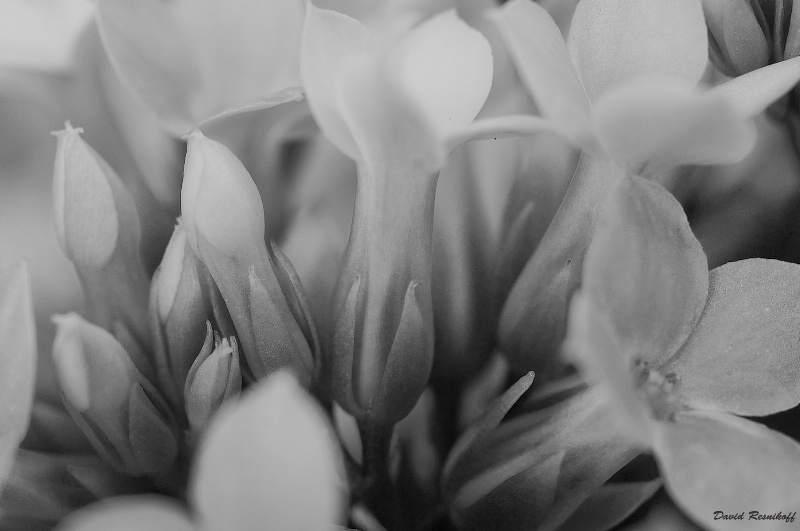 Flowers and Buds in BW