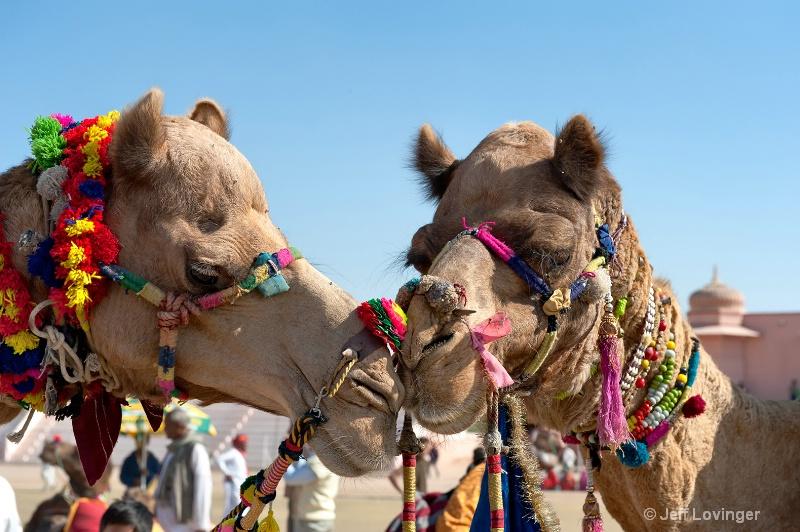 Camel Love, Rajasthan, India