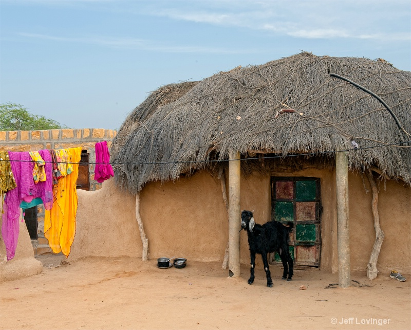 Village Goat, Rajasthan, India