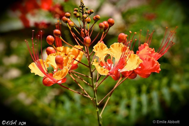 "Mexican Bird-of-Paradise ""Caesalpinia"""