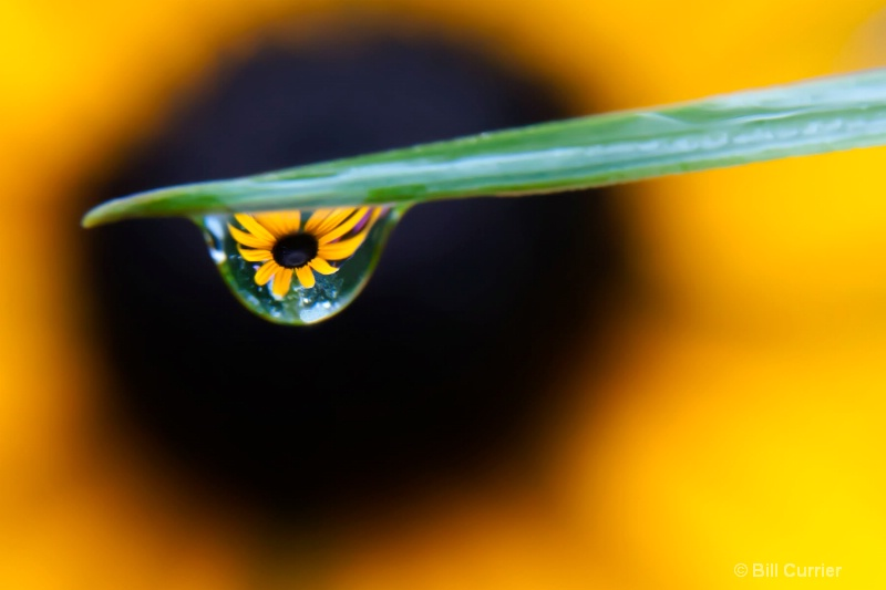 Black Eyed Susan Reflection