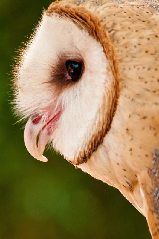 BG Owl Profile