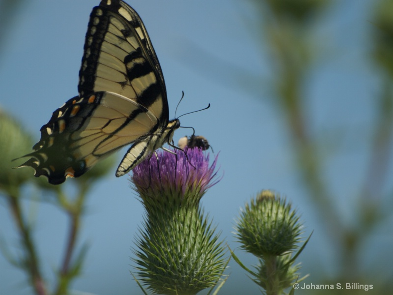 Tiger on Thistle