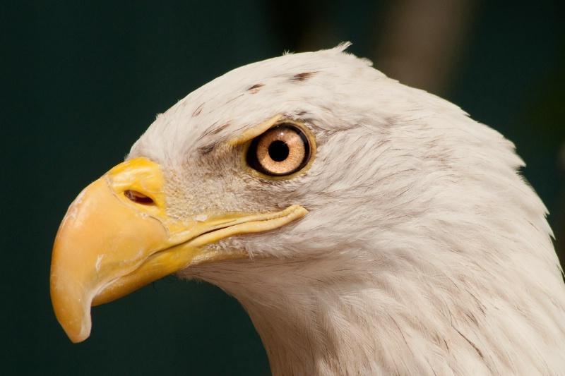 Busch Gardens Bald Eagle