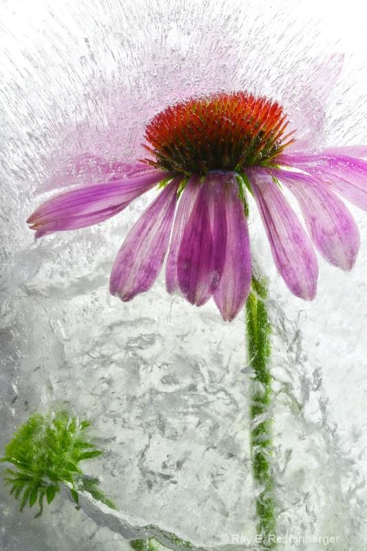 img 8596 Flower Ice