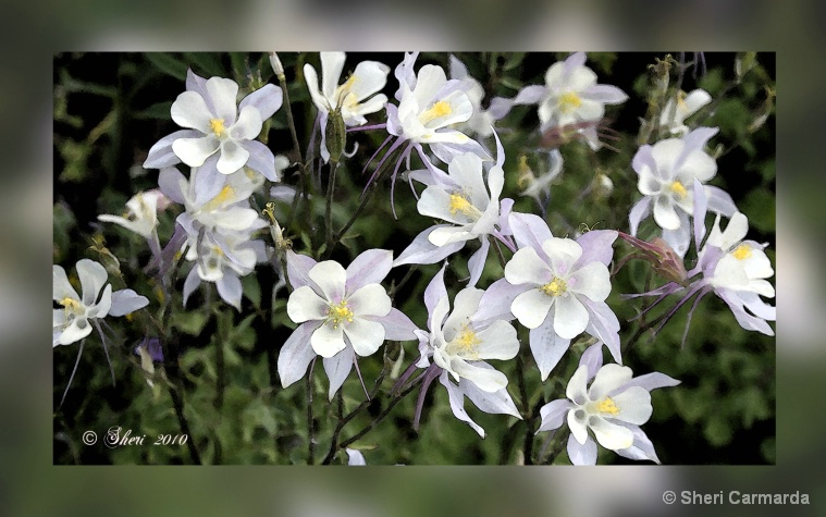 Columbines in a Frame  - 012