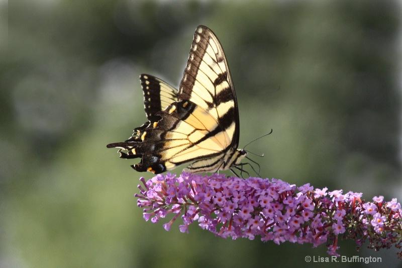 Swallowtail Butterfly II