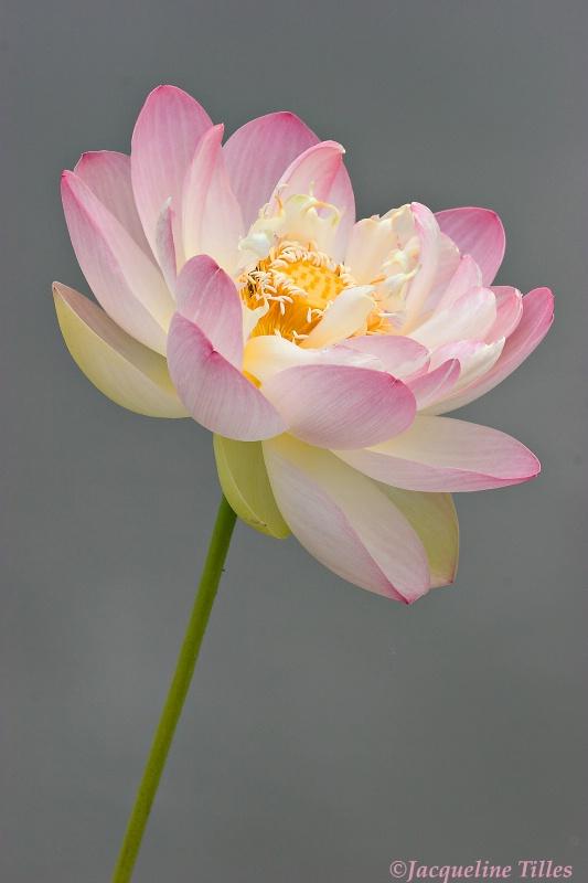 Petaling Pink
