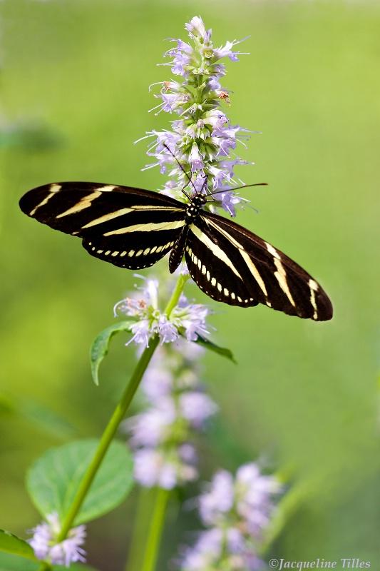 Zebra Longwing Butterfly on Blue Fortune