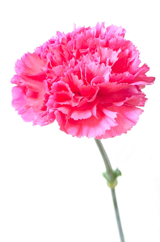 Pop-Up Carnation