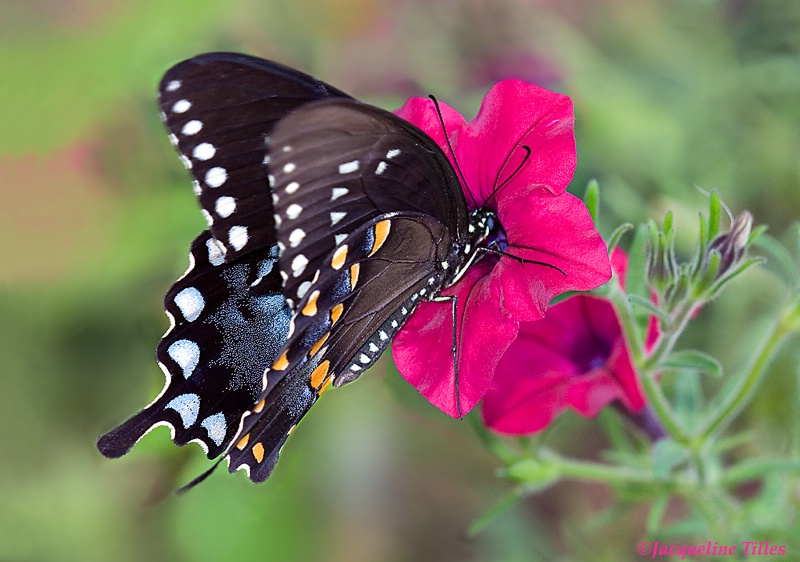 Spicebush Swallowtail on Petunia