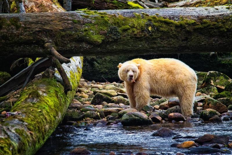The Great Spirit Bear