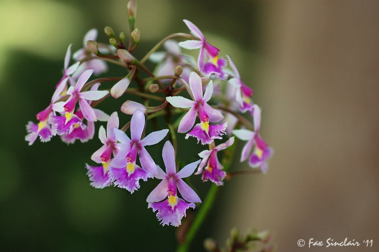 Tiny Orchids 2