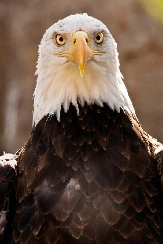 Memphis Bald Eagle