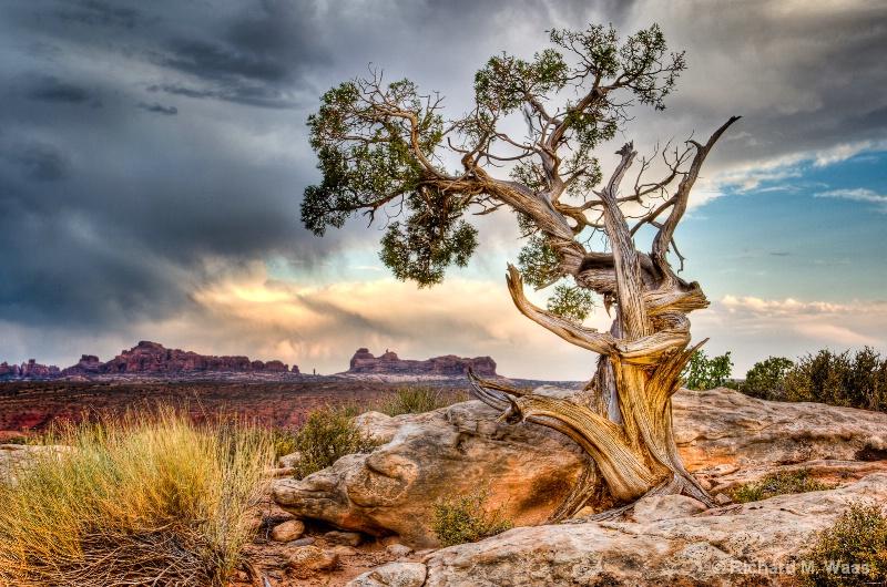Juniper in Moab