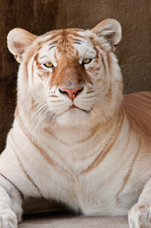 Memphis Tiger Look