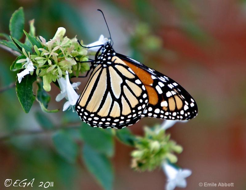 Del Rio's first Monarch