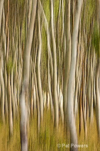 Dancing Birches