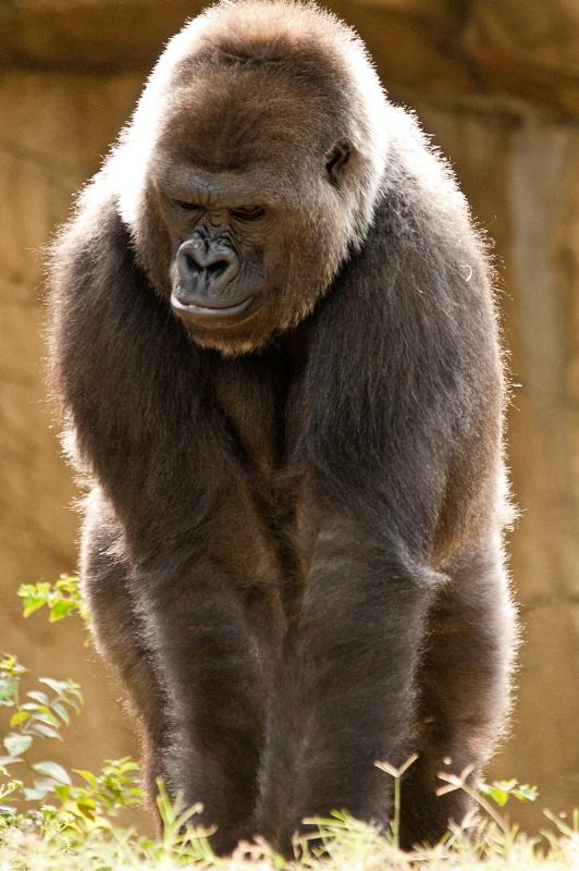 Gorilla in Memphis