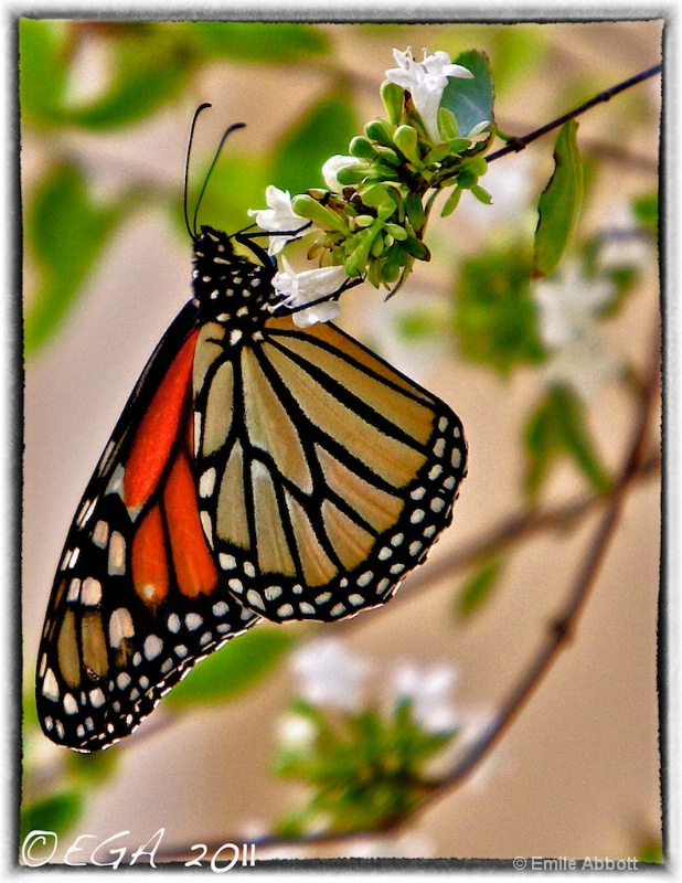 Monarch in HDR