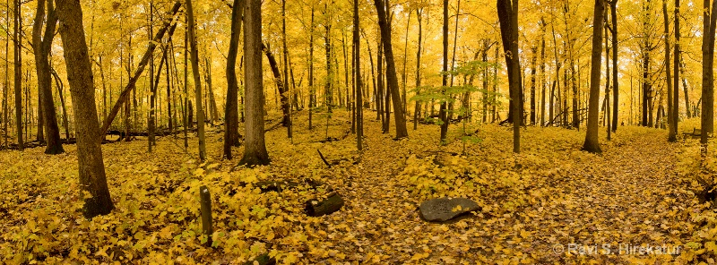 Yellow Heaven - Fall colors at Arboretum