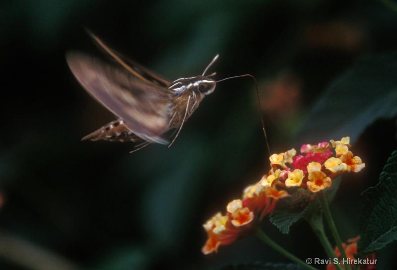 White Lined Sphinx Moth (Hummingbird Moth)