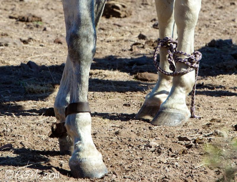 Hobble Horses