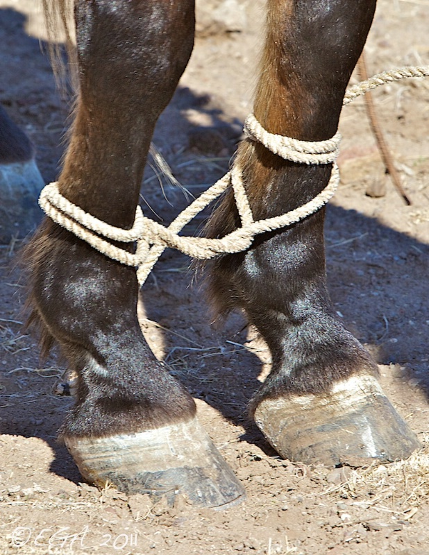 Hobble horse with rope