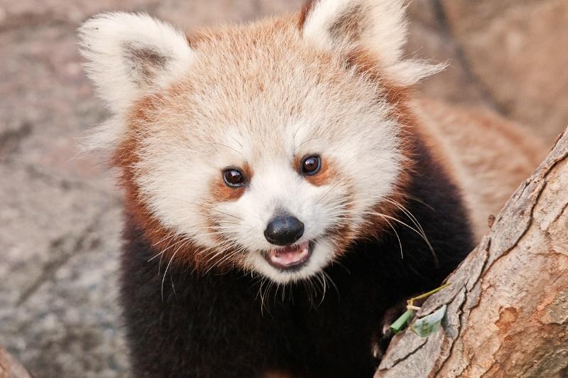 National Zoo Red Panda