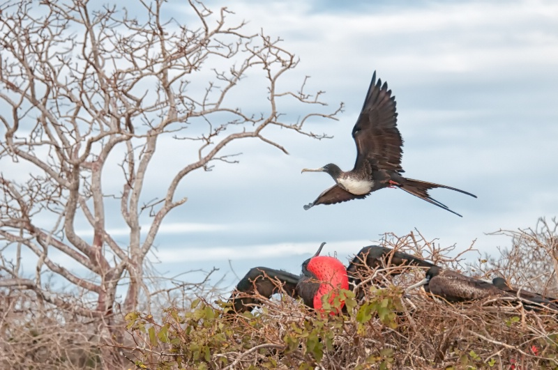 Frigate Bird Mating Display