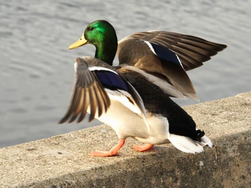 p16a img 5111 mallard duck