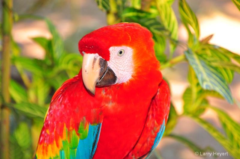 Macaw in Peru