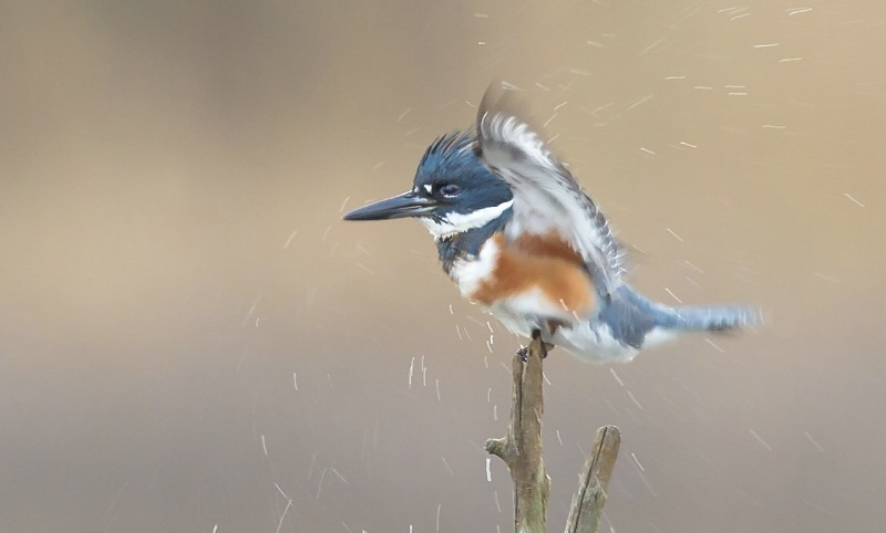 KIngfisher after bathing