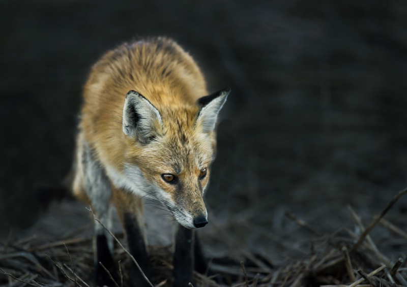 Red Fox- Bombay Hook De