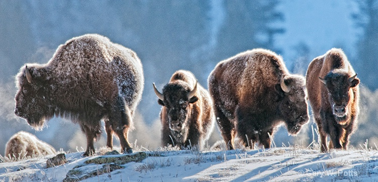 Bison Four