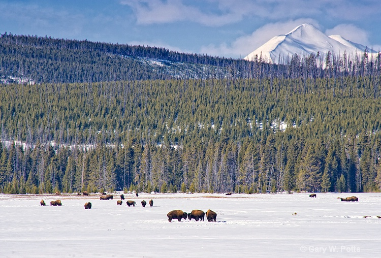 Bison Meadow