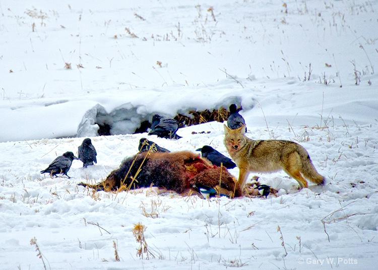 Coyote Scavenger  #2