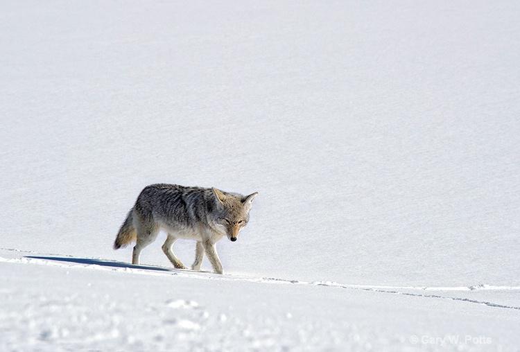 Coyote Solo