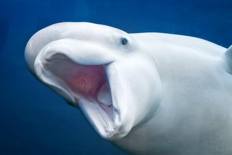 Beluga Whale Greeting