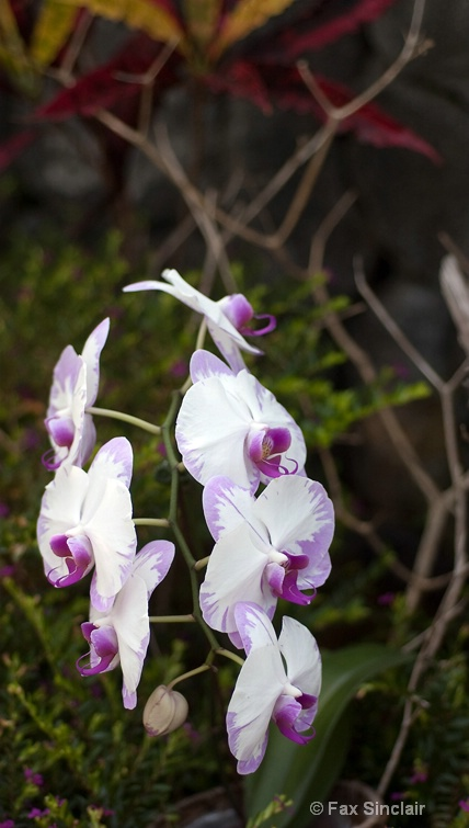 Painted Orchid Dance