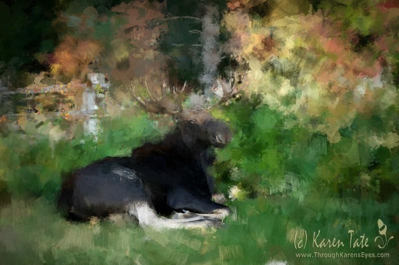 Bull moose, Wyoming