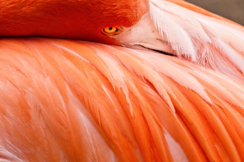Looking Flamingo